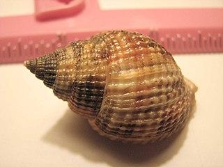 <i>Cancellaria</i> genus of molluscs