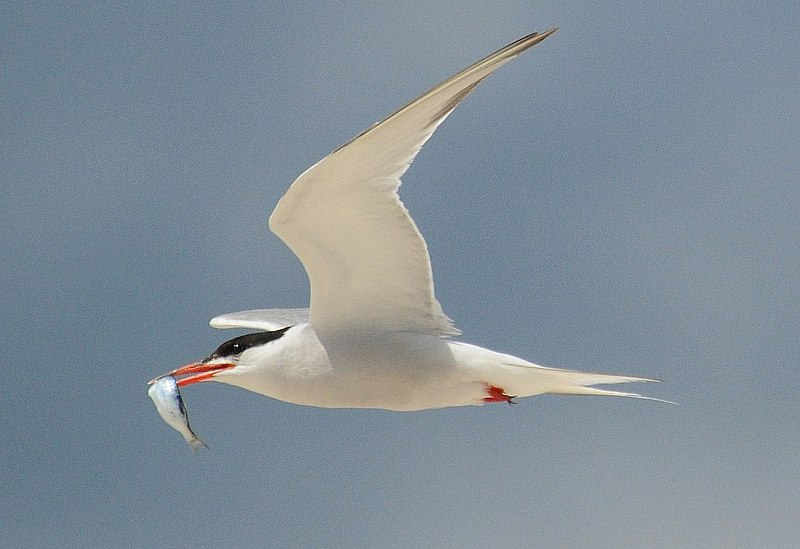 Fichier:Common tern with fish.jpg