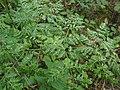 Conium maculatum leaf (14).jpg