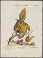 Conurus aeruginosus - 1700-1880 - Print - Iconographia Zoologica - Special Collections University of Amsterdam - UBA01 IZ18500167.tif