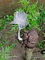 Coprinopsis lagopus.jpg