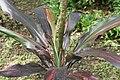 Cordyline fruticosa 24zz.jpg
