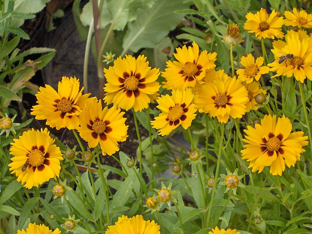 Coreopsis Lanceolata Wikipedia