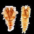Corethrella pupae.png