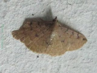 <i>Corgatha</i> Genus of moths