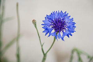 Victoria Derby - Blue cornflower