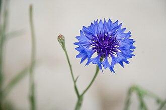 Victoria Derby - Blue cornflower