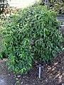 Cornus elliptica - J. C. Raulston Arboretum - DSC06225.JPG