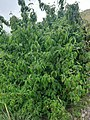 Cornus mas, familija Cornaceae 03.jpg