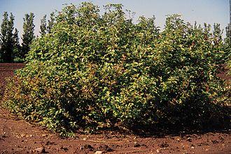 Cornus sericea - Image: Cornus sericea habit