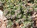 Corrigiola litoralis saint-mathurin-sur-loire 49 10082007 1.JPG