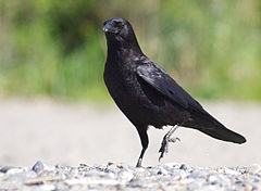 Corvus brachyrhynchos -Carkeek Park, Seattle, Washington, USA-8a (1).jpg