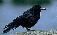 Corvus brachyrhynchos 2