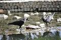 Corvus splendens @ Kuala Lumpur (4s, p7).jpg