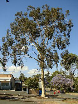 houppierd e l'eucalyptus citronné
