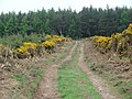 Country lane with gorse bushes - geograph.org.uk - 422959.jpg
