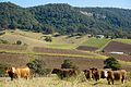 Cows and Hunter Valley Vineyard (9679974515).jpg