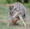 Coyotes (Canis latrans), DSC3299vv.jpg