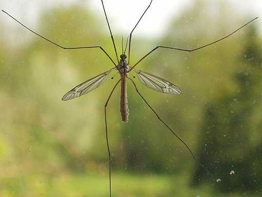 Crane fly on window