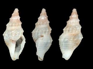 <i>Crockerella lowei</i> Species of gastropod