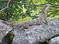 Ctenosaura similis (4010224688).jpg