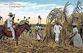 Cuba - cutting sugar cane.jpg
