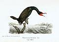 Cuban cormorant.jpeg