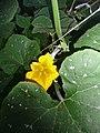 """Cucurbita argyrosperma """"calabaza rayada o cordobesa"""" (Florensa) flor masculina M02 vista superior (distal, frontal) columna anterífera polen tricomas.JPG"""