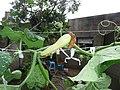 Cucurbita moschata (zapallo espontáneo) flor fruto F05 dia03 orientación (la guía se gira alrededor de la soga con el viento y el peso).JPG