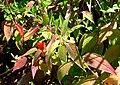 Cuphea nudicostata 1.jpg