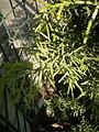 Cupressus macrocarpa 'Goldcrest' foliage at Akola, Maharashtra, India.jpg