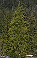 Cupressus nootkatensis 1337.JPG