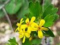 Currant flower.jpg