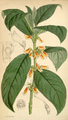 Curtis's Botanical Magazine, Plate 4310 (Volume 73, 1847).png