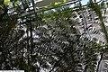 Cyathea cooperi 28zz.jpg