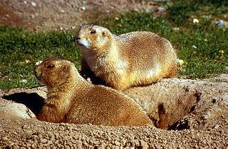 Ferruginous hawk - Prairie dogs, one of the favorite foods of the ferruginous hawk
