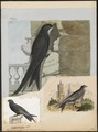 Cypselus apus - 1790-1796 - Print - Iconographia Zoologica - Special Collections University of Amsterdam - UBA01 IZ16700081.tif