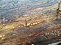 Dacrymyces stillatus 71110771.jpg