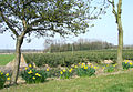 Daffodils and spruce crop near The Bradshaws, Staffordshire - geograph.org.uk - 383961.jpg