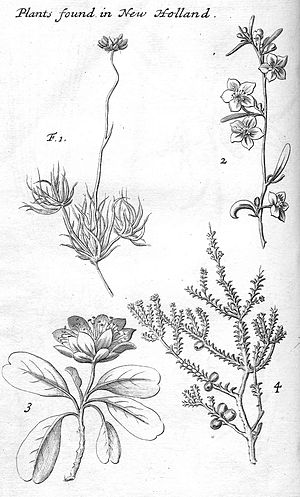 William Dampier - Australian plant life from Dampier's A Voyage to New Holland, published in 1703.