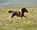 Dartmoor pony foal 2.jpg