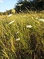 Daucus carota subsp. carota sl11.jpg