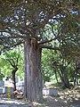 Dediğiolur sultan türbesi bahçesindeki ağaç 1 longuner - panoramio.jpg