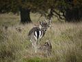 Deer at Petworth Park.jpg