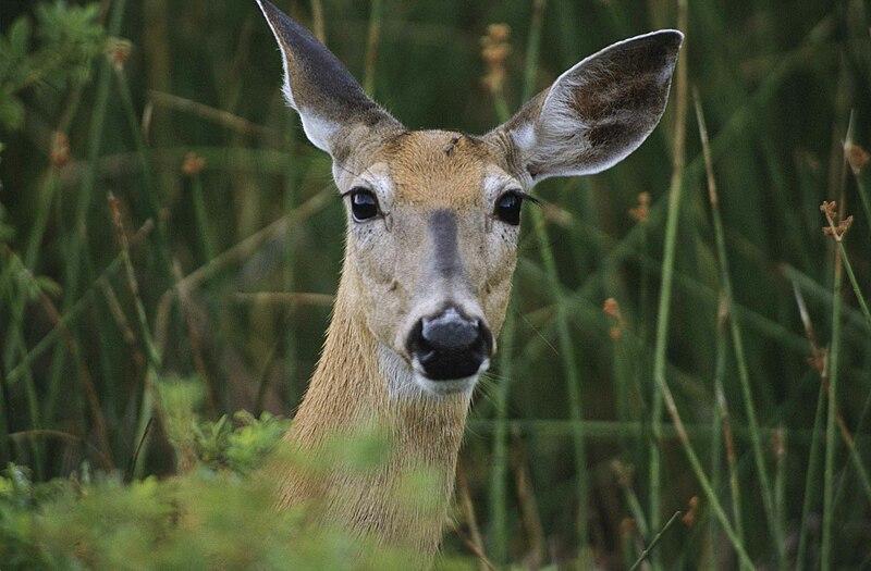 File:Deer female animal head.jpg