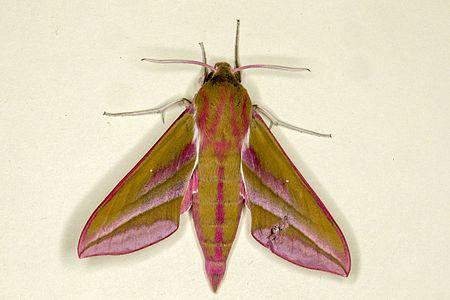Deilephila elpenor01(js).jpg