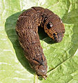 Deilephila elpenor - caterpillar.jpg