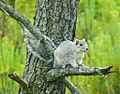Delmarva fox squirrel (7013873661).jpg