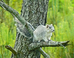Chincoteague National Wildlife Refuge - Delmarva Fox Squirrel