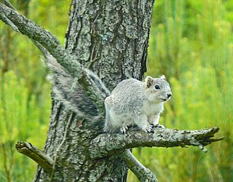 Chincoteague National Wildlife Refuge - Delmarva Fox Squirrel